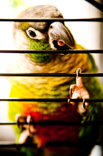 Sid, realizing she is in a cage.  Back to squawking.